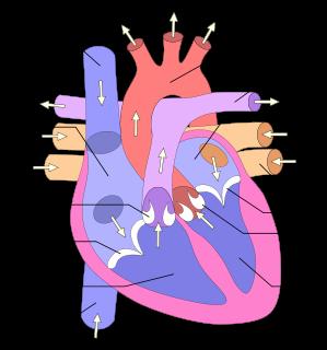 Partes del corazón: 1. Atrio derecho 2. Atrio izquierdo 3. Vena cava superior 4. Aorta 5. Arteria pulmonar 6. Vena pulmonar 7. Válvula mitral 8. Válvula aórtica 9. Ventrículo izquierdo 10. Ventrículo derecho 11. Vena cava inferior 12. Válvula tricúspide 13. Válvula pulmonar